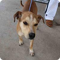Adopt A Pet :: Opie - Newnan City, GA