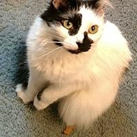 Domestic Shorthair Cat for adoption in Surprise, Arizona - Samantha