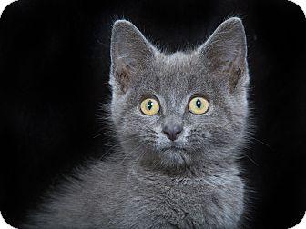 Russian Blue Kitten for adoption in Nashville, Tennessee - Erin