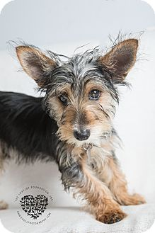 Yorkie, Yorkshire Terrier/Terrier (Unknown Type, Small) Mix Puppy for adoption in Inglewood, California - Rosie
