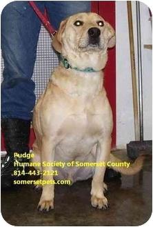 Labrador Retriever/Chow Chow Mix Dog for adoption in Somerset, Pennsylvania - Pudge