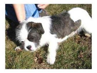 French Bulldog/Shih Tzu Mix Dog for adoption in North Kingstown, Rhode Island - WINSTON