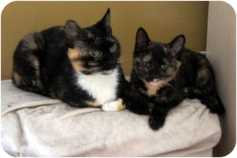 Domestic Shorthair Cat for adoption in Xenia, Ohio - Polly & Princess