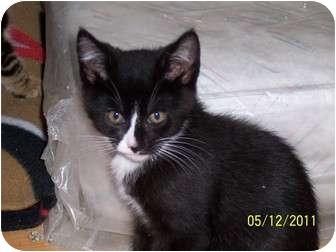 Domestic Shorthair Kitten for adoption in Audubon, New Jersey - Bonnie (5 mos.)