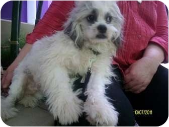 Lhasa Apso/Silky Terrier Mix Dog for adoption in Houston, Texas - Bandit