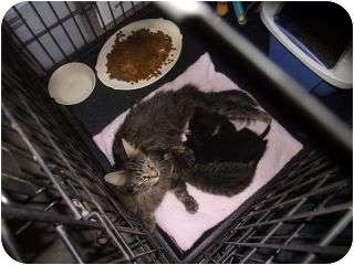 Maine Coon Cat for adoption in Harrisburg, North Carolina - Harriet