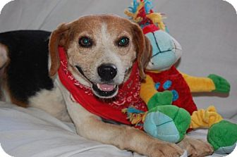 Beagle Dog for adoption in Hot Springs, Arkansas - Sir Winston