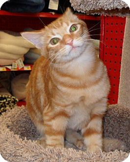 Domestic Shorthair Kitten for adoption in Phoenix, Arizona - Dax