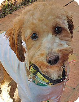 Poodle (Miniature) Mix Puppy for adoption in Los Angeles, California - Expresso-1yr-Hsbrkn