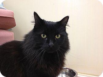 Domestic Mediumhair Cat for adoption in Maple Ridge, British Columbia - HIlde
