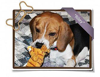 Beagle Dog for adoption in Portland, Oregon - Riley