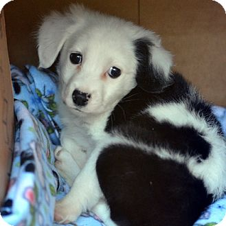 Border Collie Mix Puppy for adoption in Garland, Texas - Castle