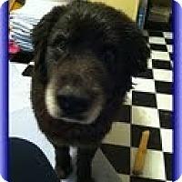 Adopt A Pet :: Moose Man (Urgent) $150 off - Staunton, VA