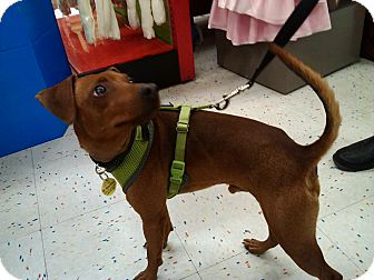 Italian Greyhound/Miniature Pinscher Mix Dog for adoption in Hurricane, Utah - Frankie