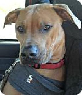 Pit Bull Terrier Mix Dog for adoption in Mt. Pleasant, Michigan - Maxwell