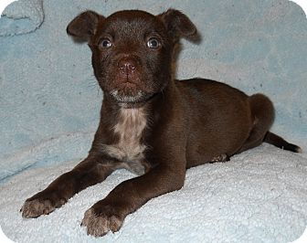 Labrador Retriever/Husky Mix Puppy for adoption in Charlotte, North Carolina - Countess (Royalty Litter)