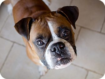 Boxer Dog for adoption in Westminster, Maryland - Tyson