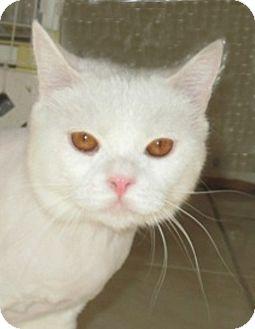 Persian Cat for adoption in Gilbert, Arizona - Romeo