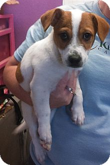 Fox Terrier (Smooth)/Dachshund Mix Puppy for adoption in Kirby, Texas - Almond