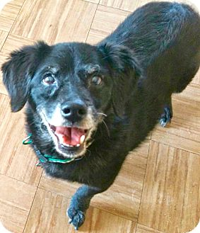 Dachshund/Spaniel (Unknown Type) Mix Dog for adoption in Valley Village, California - CHULA