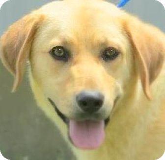 Labrador Retriever/Golden Retriever Mix Dog for adoption in Wakefield, Rhode Island - BRINKLEY(GENTLE-CALM-SO LOVING