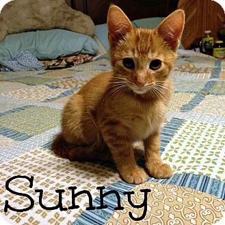 Domestic Shorthair Kitten for adoption in Bentonville, Arkansas - Sunny