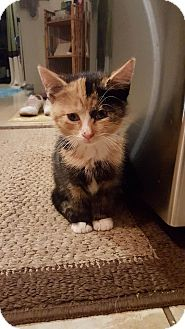 Calico Kitten for adoption in East Brunswick, New Jersey - Ana