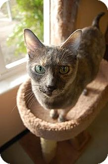 Domestic Shorthair Cat for adoption in Mims, Florida - Silly