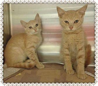 Domestic Shorthair Kitten for adoption in Marietta, Georgia - SONIA (R)