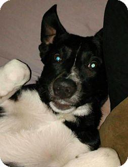 Border Collie Mix Puppy for adoption in Brunswick, Ohio - Gino
