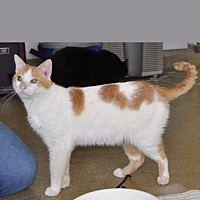Domestic Shorthair Cat for adoption in Sunrise Beach, Missouri - Roadside
