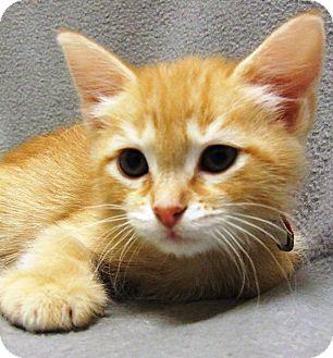 Domestic Mediumhair Kitten for adoption in Watauga, Texas - Siggi