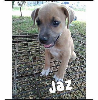 Shepherd (Unknown Type) Mix Puppy for adoption in Mesa, Arizona - JAZ