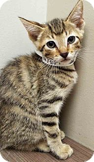 Domestic Shorthair Kitten for adoption in Hinsdale, Illinois - ADOPTED!!!   Lester