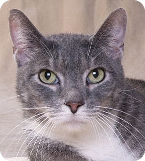 Domestic Shorthair Cat for adoption in Chicago, Illinois - Finn