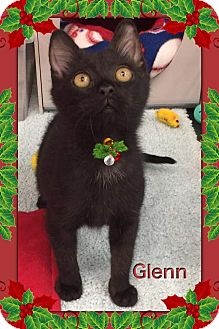 Bombay Kitten for adoption in Atco, New Jersey - Glenn