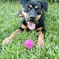 Rottweiler Dog for adoption in Davie, Florida - Moose