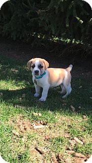 Beagle Mix Puppy for adoption in New Oxford, Pennsylvania - Beethoven