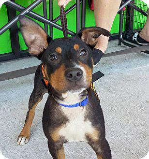 Rottweiler/German Shepherd Dog Mix Puppy for adoption in Shallotte, North Carolina - Noah