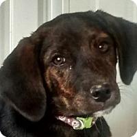 Adopt A Pet :: Olivia - Lexington, KY