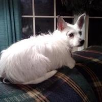 Adopt A Pet :: Diamond *Foster* - Glen Allen, VA