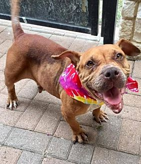 Pit Bull Terrier Mix Dog for adoption in Dallas, Texas - Ava
