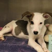 Rat Terrier Mix Dog for adoption in Dothan, Alabama - Buster