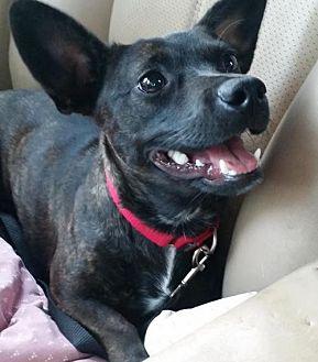 Dachshund Mix Dog for adoption in Minneapolis, Minnesota - Adair