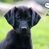 Adopt A Pet :: Abigail - Lee's Summit, MO