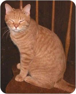 Domestic Shorthair Cat for adoption in Milford, Ohio - Ryan