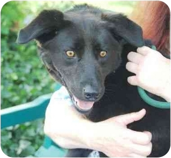 Labrador Retriever Mix Dog for adoption in kennebunkport, Maine - Rosalind-ADOPTED!