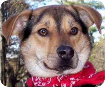 Beagle/Shepherd (Unknown Type) Mix Dog for adoption in Olive Branch, Mississippi - Riley