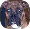 Boxer Dog for adoption in Hamilton, Ontario - Kingston