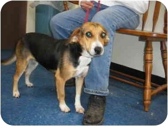 "Beagle Mix Dog for adoption in MARION, Virginia - ""Holly"""